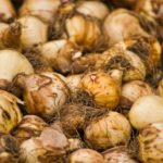 How to Store Unplanted Tulip Bulbs? 3 Secret Tips!