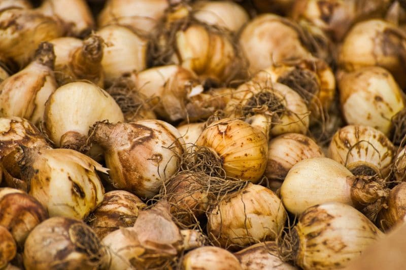 How to Store Unplanted Tulip Bulbs