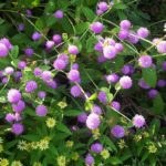 How to Grow Gomphrena? 4 Exclusive Steps!