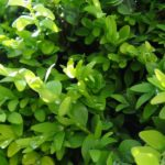 How To Propagate Boxwood From Cuttings? 9 Bonus Steps!