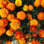 Free Guide How To Harvest Marigold Flowers In The UK?