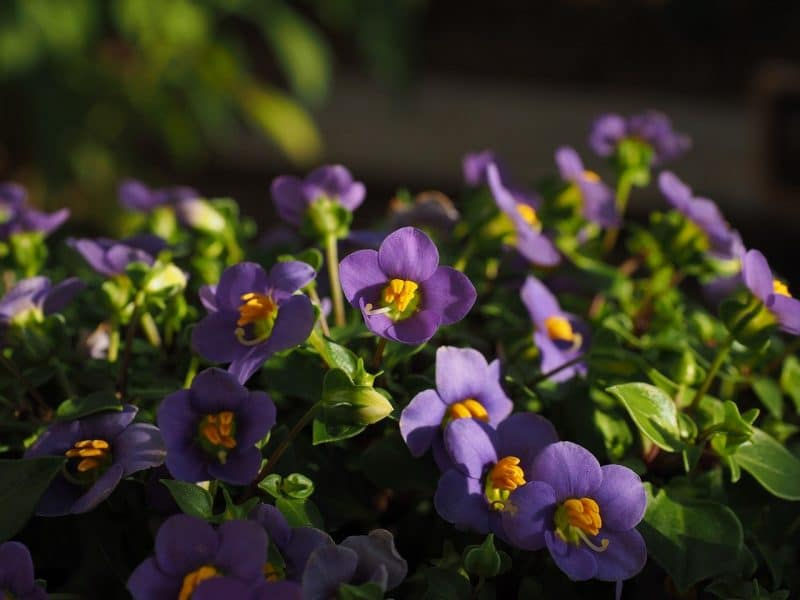 How To Deadhead African Violets. Best 2-Step Guide