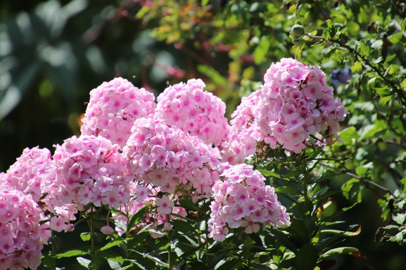 How To Transplant Phlox. 3 Steps To Success