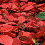 How To Grow Poinsettias From Seed? 3 Effective Steps!
