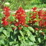 How To Cut Back Salvia? The Guide!