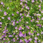 How To Grow Mexican Heather? 3 New Steps!