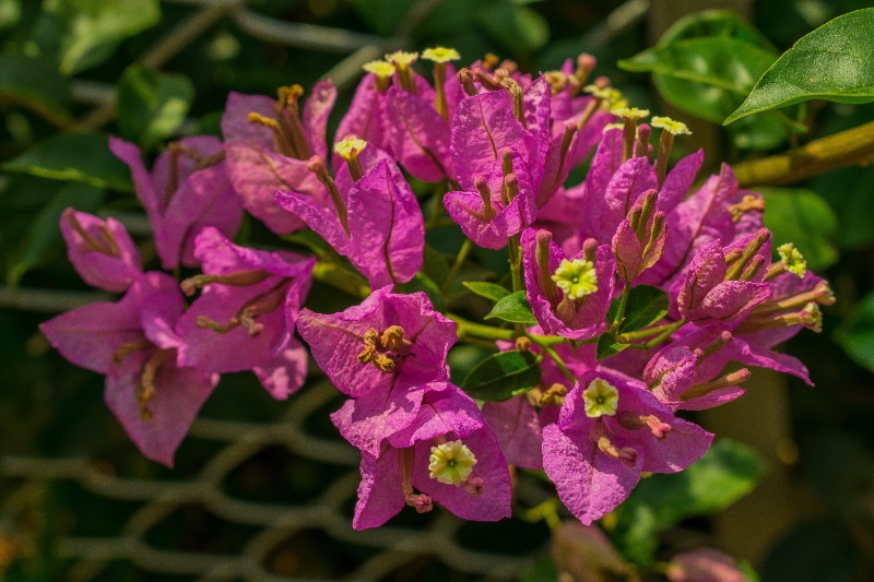 How To Root Bougainvillea Cuttings In 4 Steps 