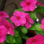 How To Plant Vinca Seeds? 2-Step Free Guide!