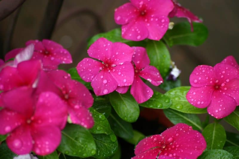 How To Plant Vinca Seeds. Best 2-Step Guide 