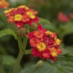 How To Gather Lantana Seeds? 2 Effective Steps!