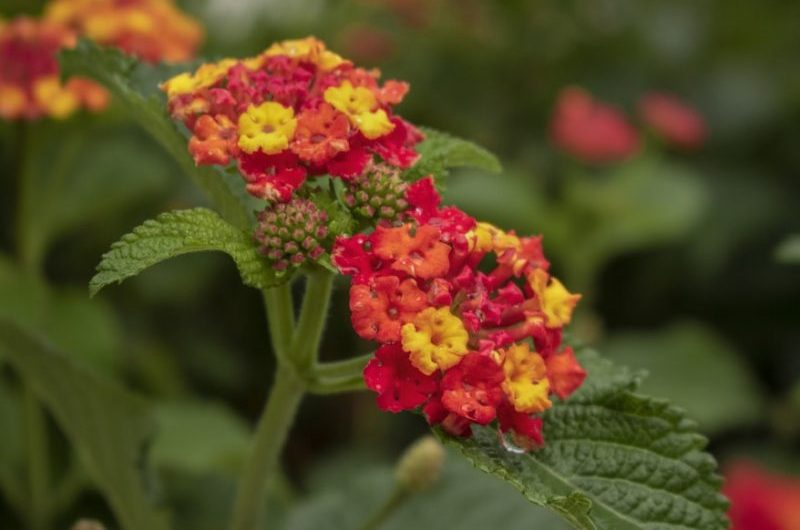 How To Gather Lantana Seeds. 2 Steps For Beginners|