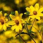 How To Grow Coreopsis From Seed? 3 Effective Steps!
