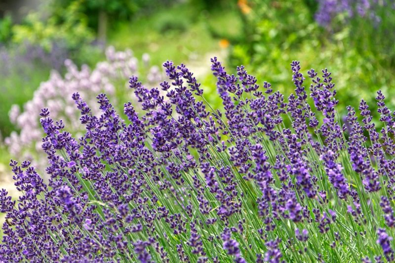 How To Grow Lavender In Arizona|