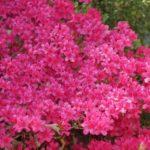 How Long Do Azalea Bushes Bloom? 3 Proved Factors!