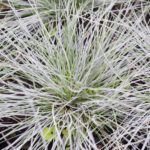 How to Care for Blue Fescue Grass In The UK? The Decision!