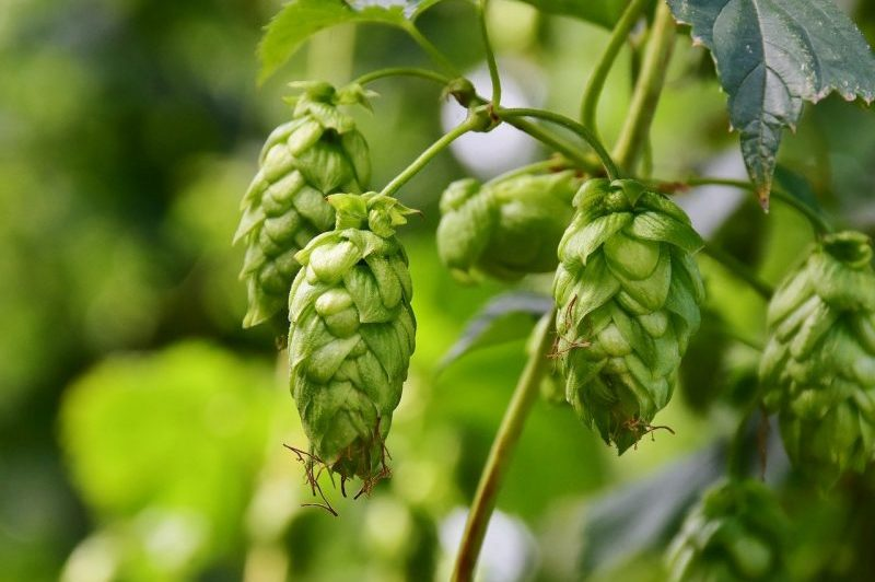 How to Grow Hops in Michigan: 3 Useful Tips|