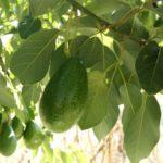 How to Start an Avocado Farm? 4 Secret Ways!