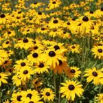 How To Prune Black Eyed Susans In Autumn? 2 Easy Techniques!