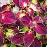 How To Propagate Coleus Plants? 2 Easy Methods!