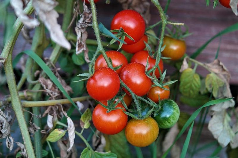 How To Grow Tomatoes In Texas: The Basics|