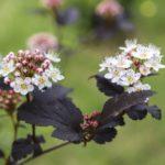 How Do You Treat Powdery Mildew On Plants Ninebark? 3 Exclusive Tips!