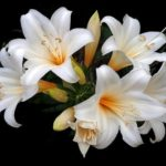 How To Grow Easter Lily? The Giveaway!