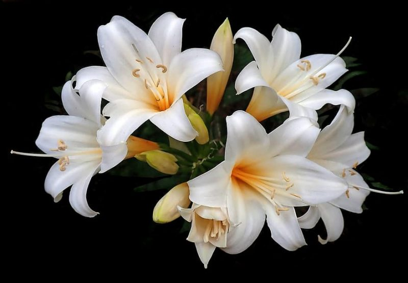 How To Plant Easter Lily|