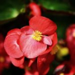 How To Keep Begonias Blooming? The Way!