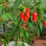 How To Fix Calcium Deficiency In Pepper Plants? 3 Bonus Tips!
