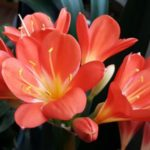 How to Keep Potted Tulips Alive? The Answer!