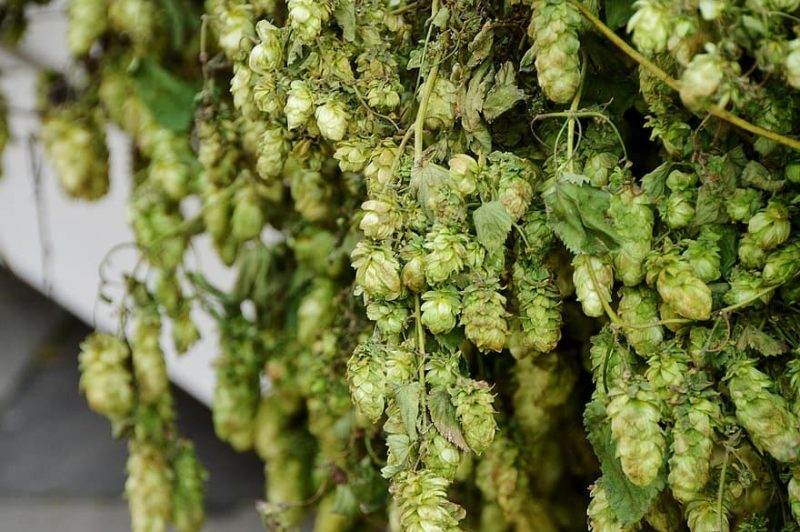 How To Grow Hops In Ohio In 3 Easy Steps|