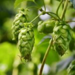How To Grow Hops In Pots? 3 Proven Steps!