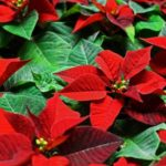 How Do You Start A New Poinsettia Plant? Trust Tips!