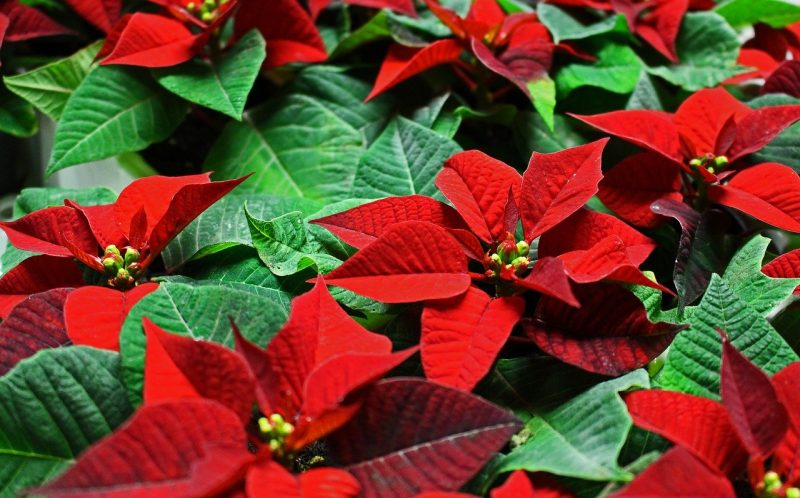 How Do You Start A New Poinsettia Plant|