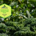 Example Of Companion Plants for Kale! 7 Proven Tips!