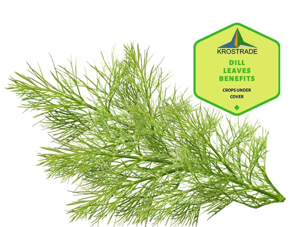 Dill Leaves Benefits And How To Eat Dill