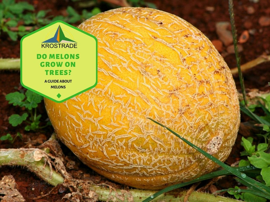 Do Melons Grow On Trees? A Guide About Melons