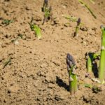 Growing Asparagus In the UK and Northern Ireland? 5 New Benefits!