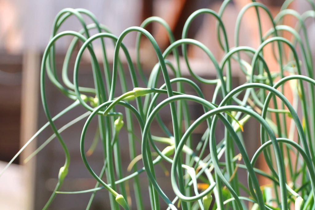 Growing Garlic In Southern California
