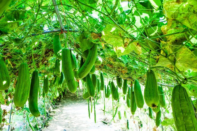 Growing Zucchini In Arizona