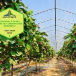 Example Of Grape Vine Polytunnel! 2 Bonus Methods!
