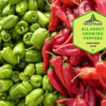 Example Of Growing Peppers in the UK! Video Download!