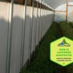 How Is Lavender Harvested? 4 Easy Steps!