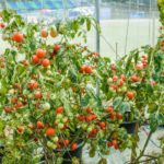How Much Lighting Is Used Growing Tomatoes In Commercial Polytunnel? More Discovered!