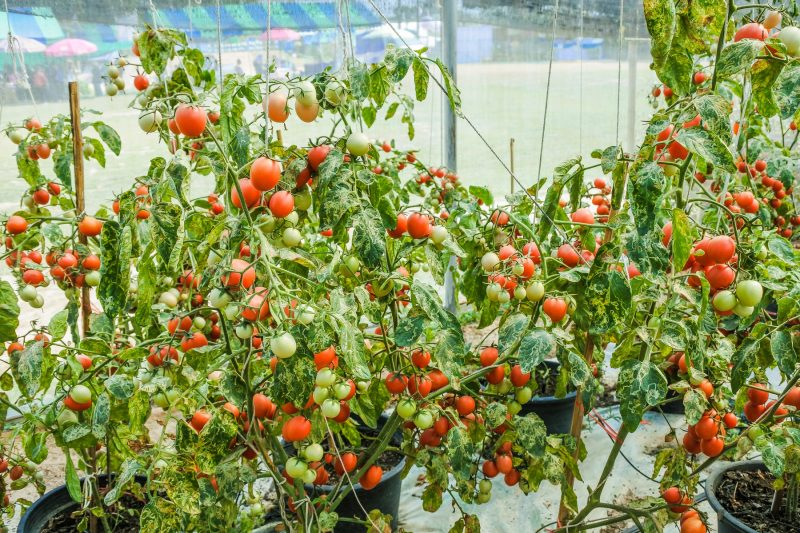 How Much Lighting Is Used Growing Tomatoes In Commercial Greenhouse