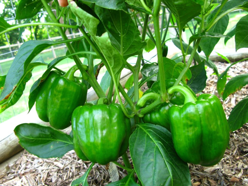 How To Make Bell Peppers Grow Bigger