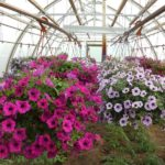 How To Prepare A Polytunnel Petunia For Planting