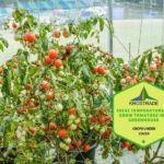 What Is Ideal Temperature To Grow Tomatoes In A Polytunnel? 24 Hour Explainer!