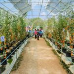 In A Commercial Polytunnel Which Side Is Best For Growing Tomatoes? Pros and Cons!
