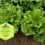 Example Of Lettuce Companion Plants! 5 Efficient Tips!